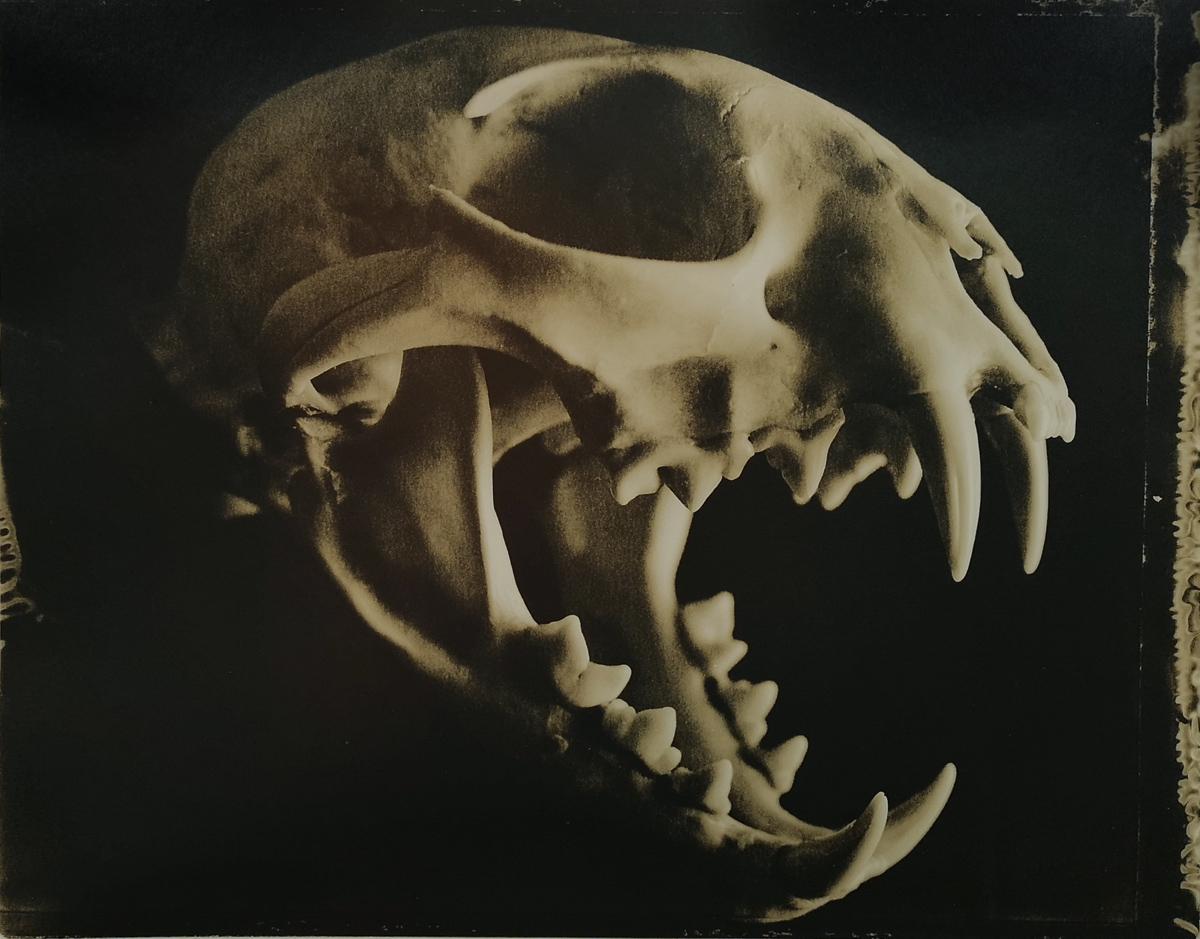 Lynx Skull #3