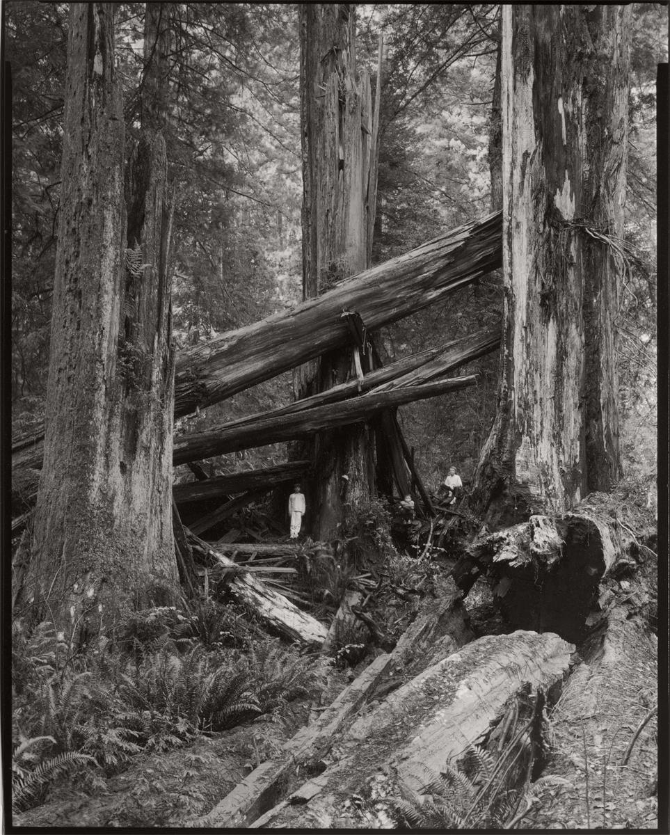 Three Boys, Three Snags, Prairie Creek Redwoods State Park, 2008