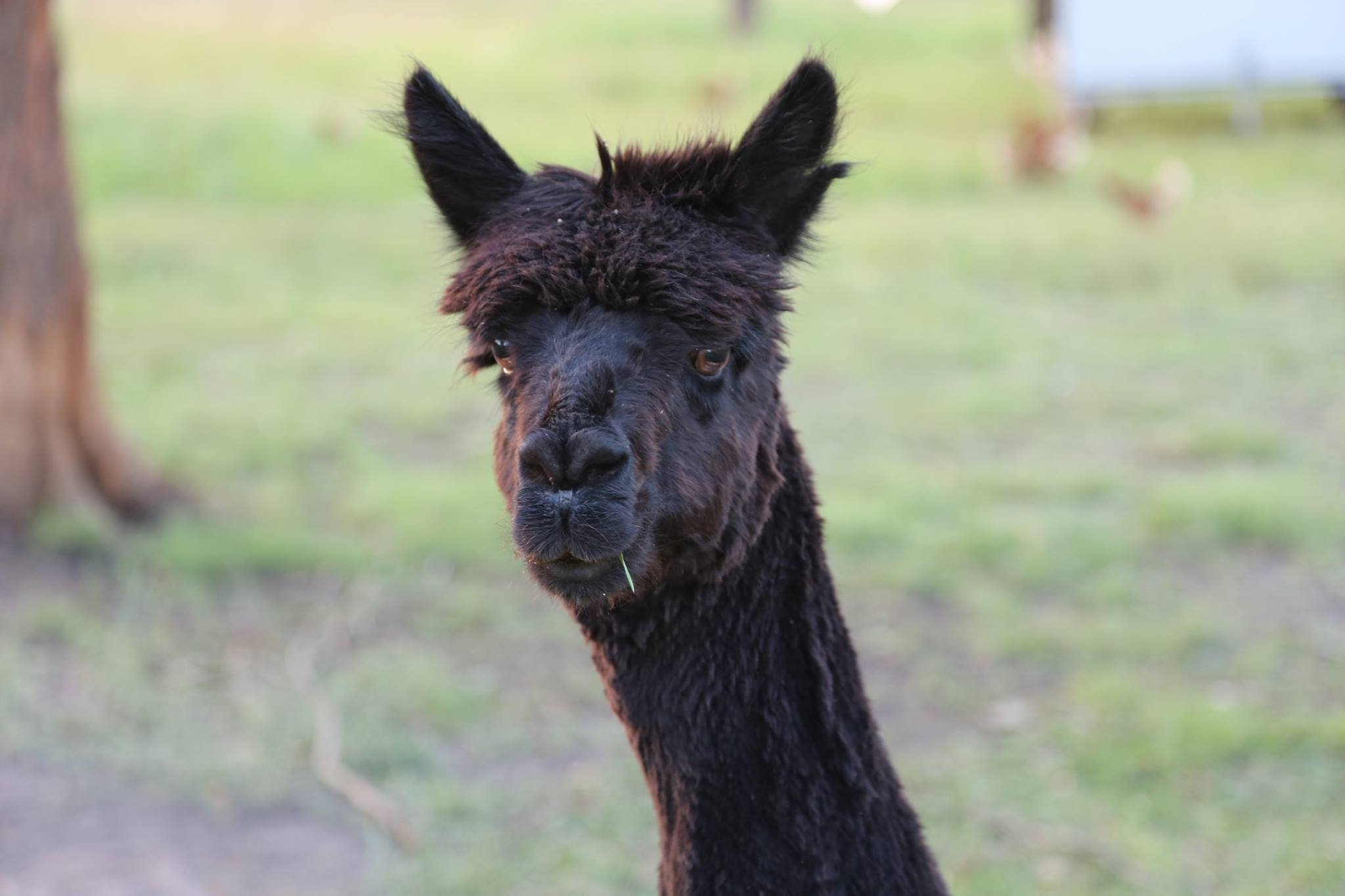 One of our magnificent alpacas