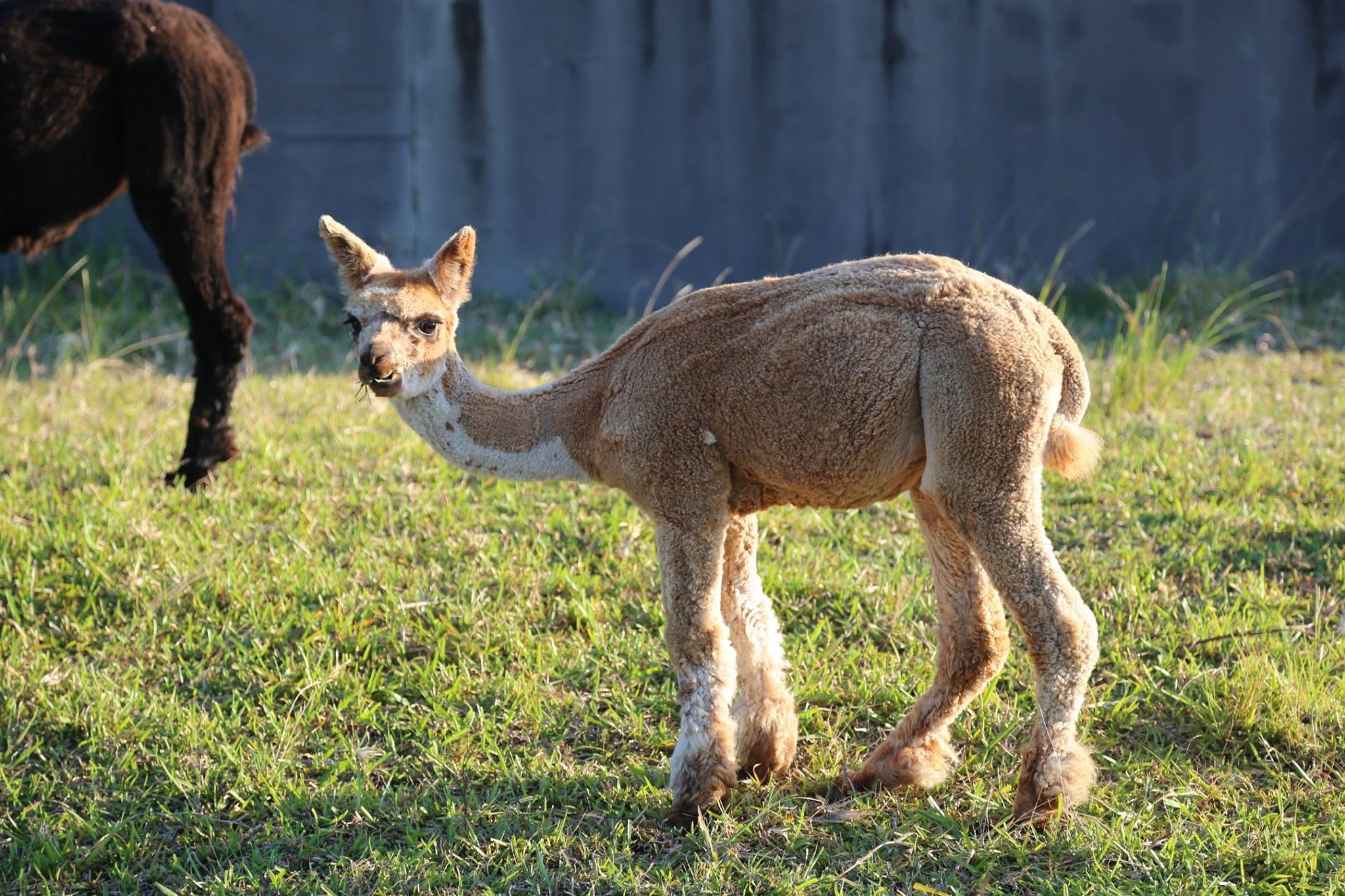 One of our baby alpacas born on the farm