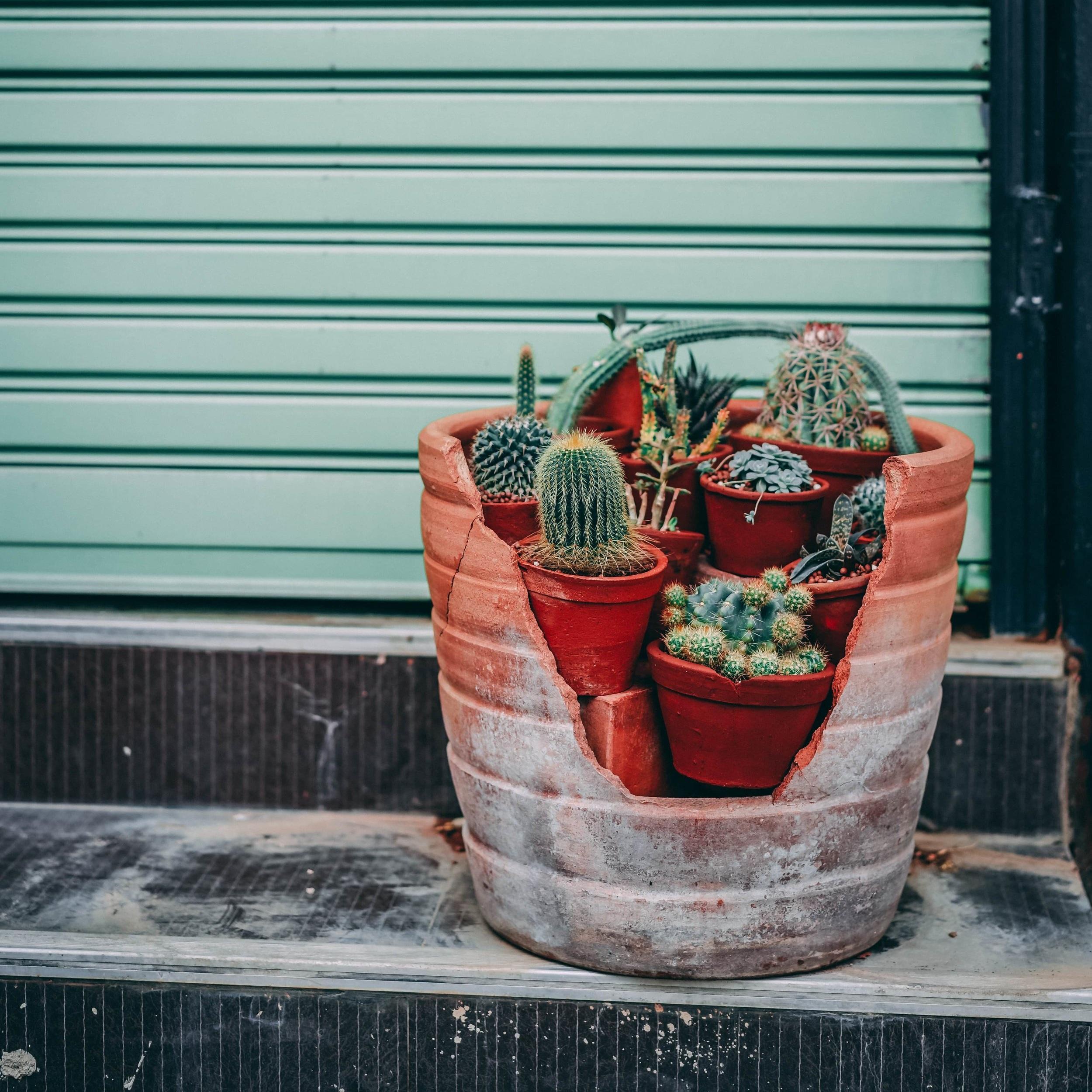 Terra cotta pot with cacti.