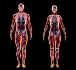 Das Muskelskelettsystem wurde durch Doctor of Chiropractic (USA) Kenneth Chillson revisioniert.