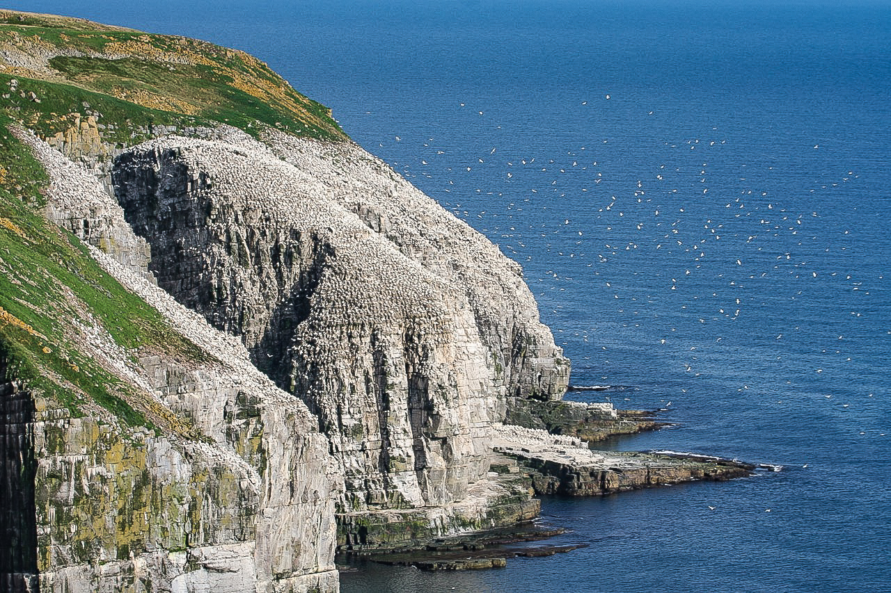 GANNET COLONY, CAPE ST MARY.