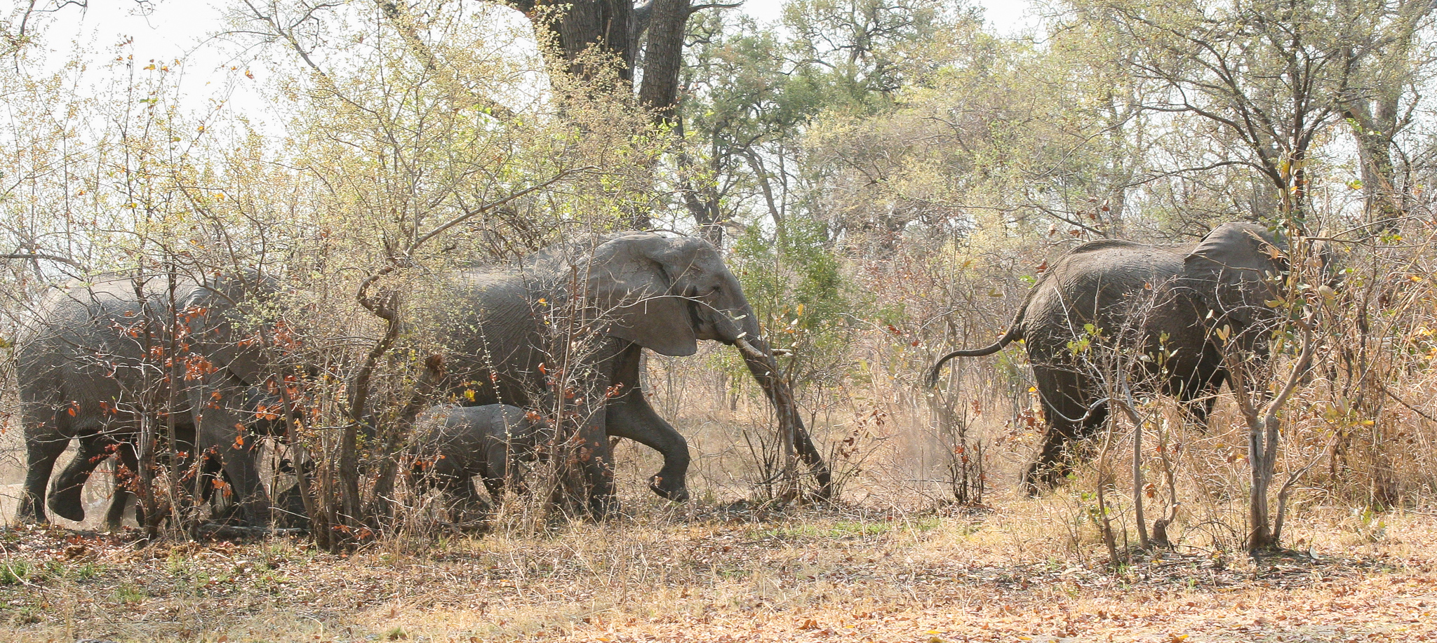 IT'S EXTRAORDINARY HOW QUIETLY ELEPHANTS CAN MOVE THROUGH THE BUSH WHEN THEY CHOOSE TO.