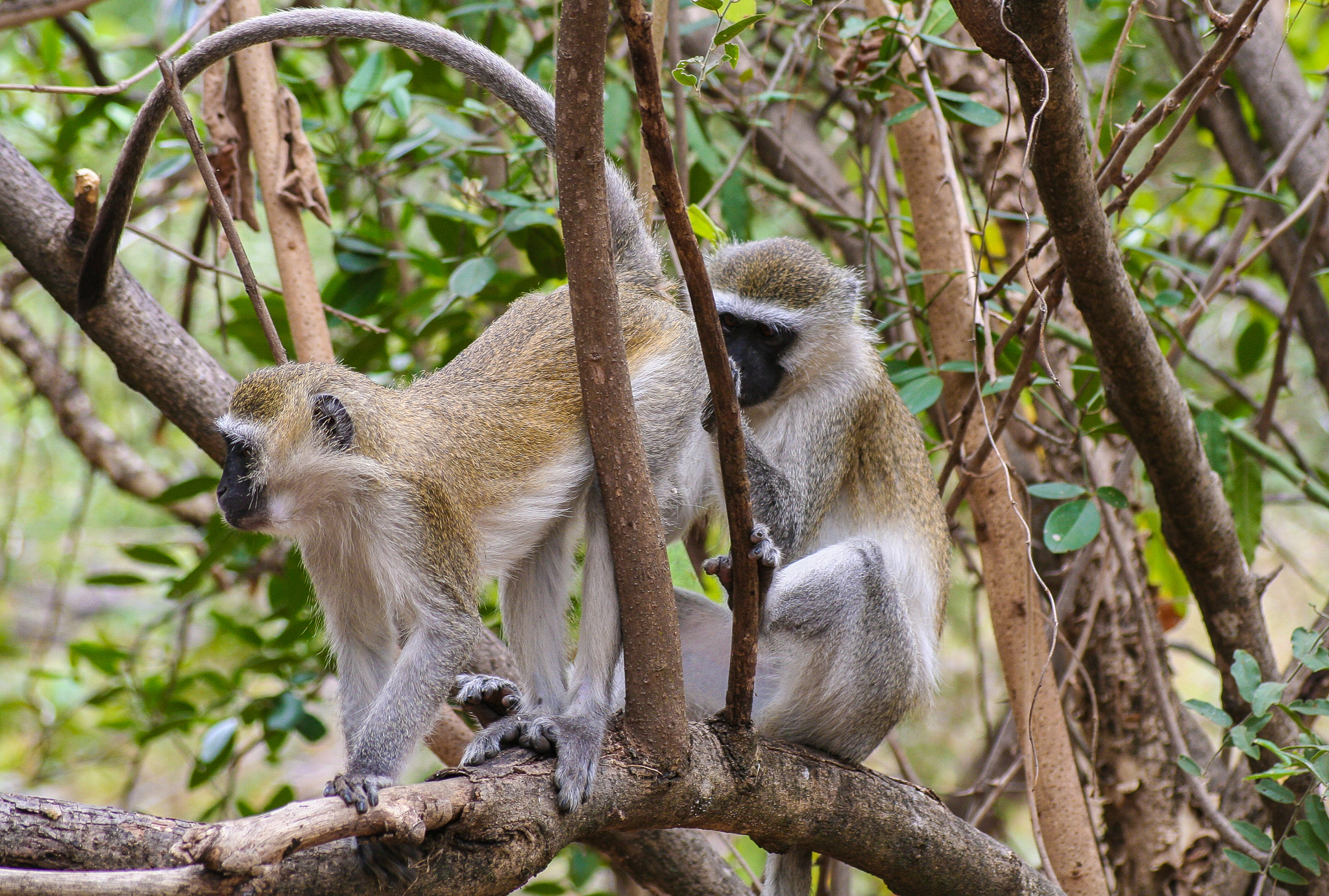 VERVET MONKEYS ATTENDING TO SOME IMPORTANT BUSINESS.