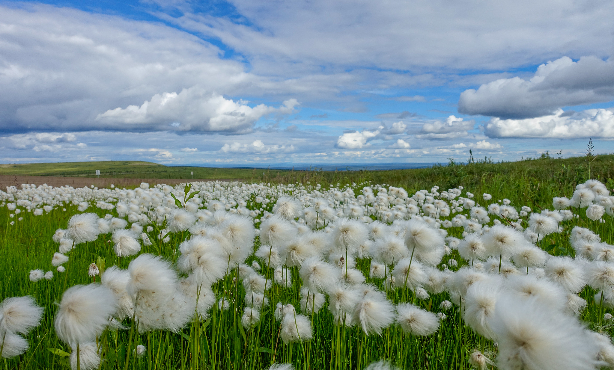COTTONGRASS GROWING BESIDE THE ROAD.