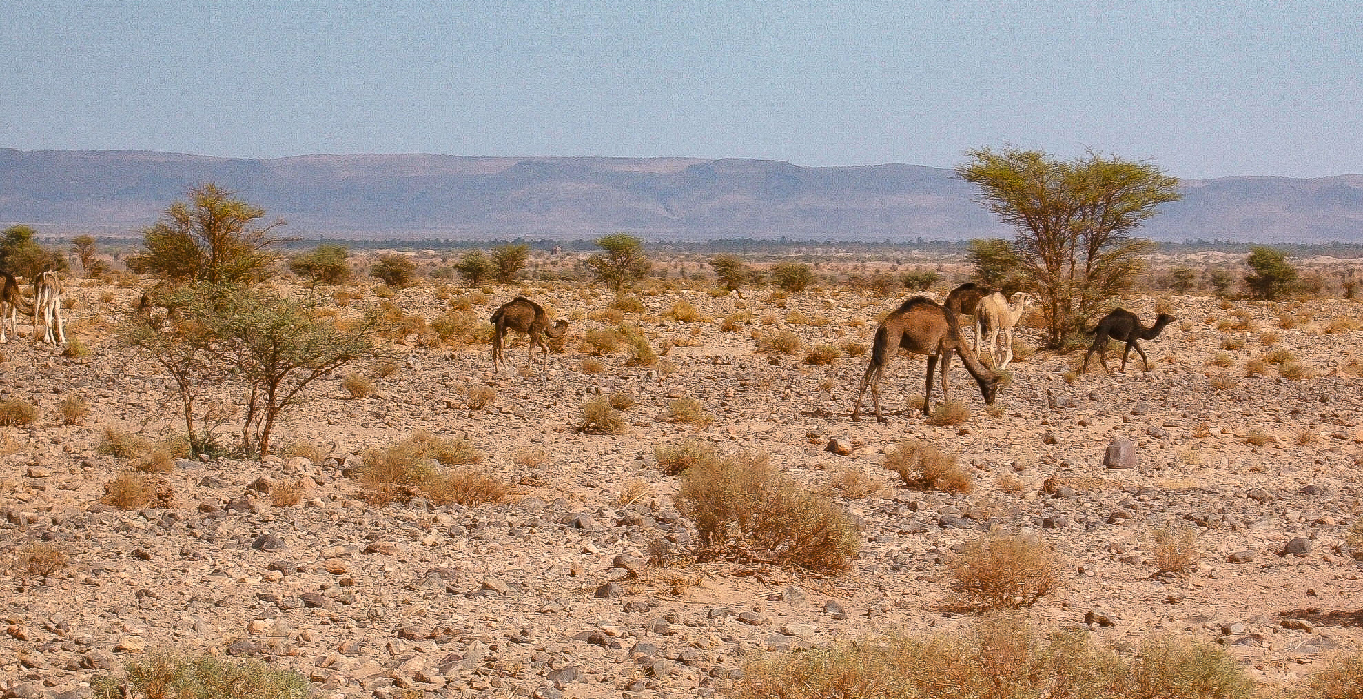 COULD THIS BE JIMI THE CAMEL AND HIS MATES?