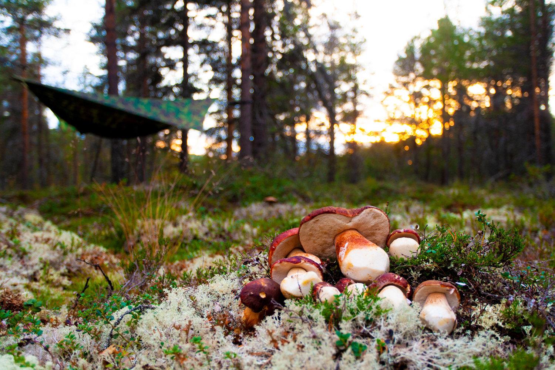 Steinsopp - Steinsoppen er skogens aristokrat som det er altfor mye av i altfor kort tid.