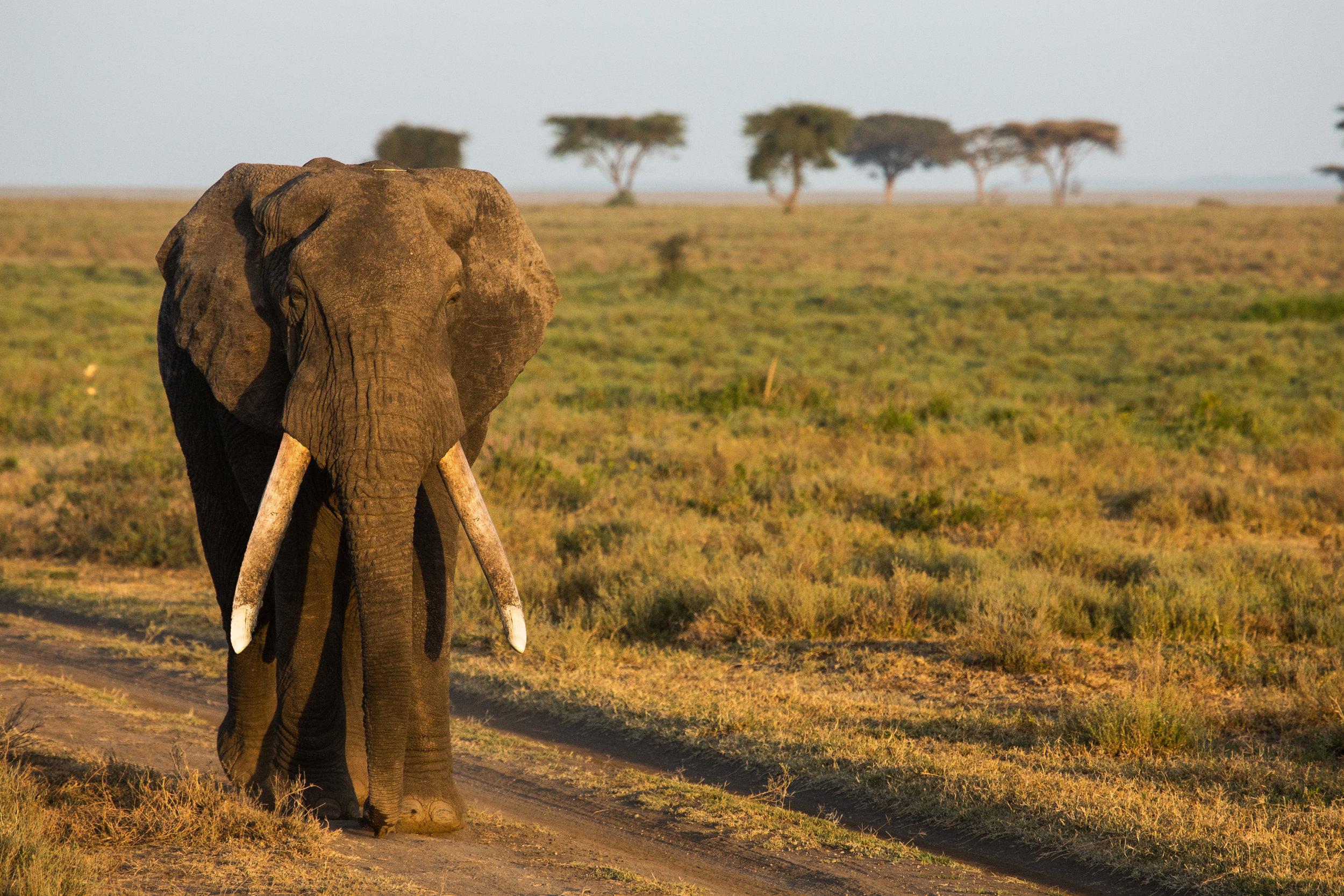 African Elephant: -