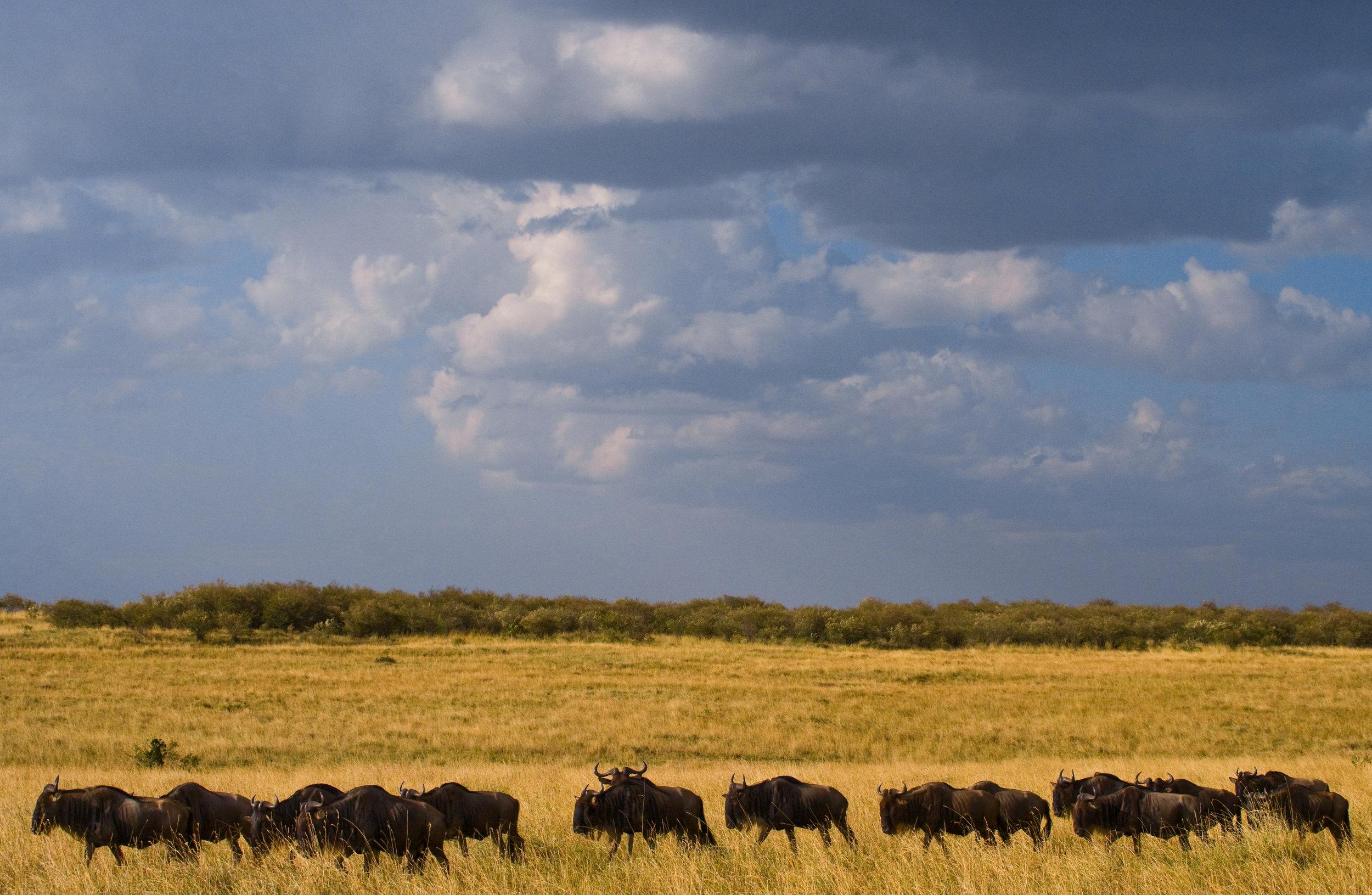 Wildebeests: -