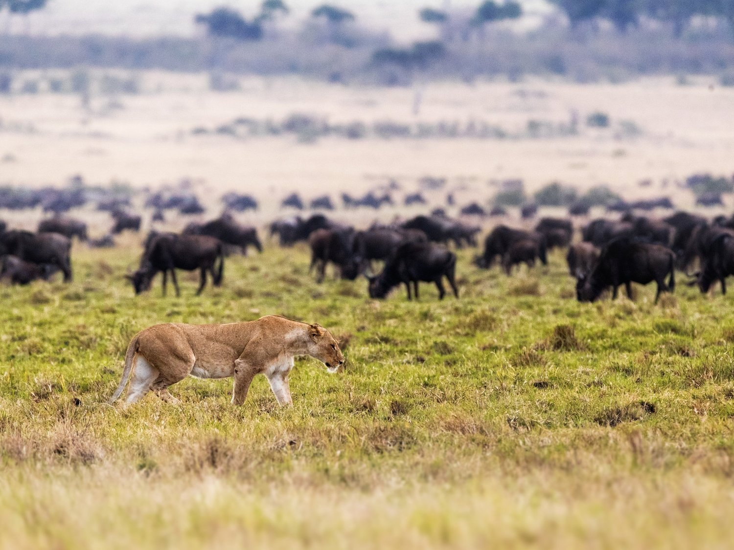 Great Migration -