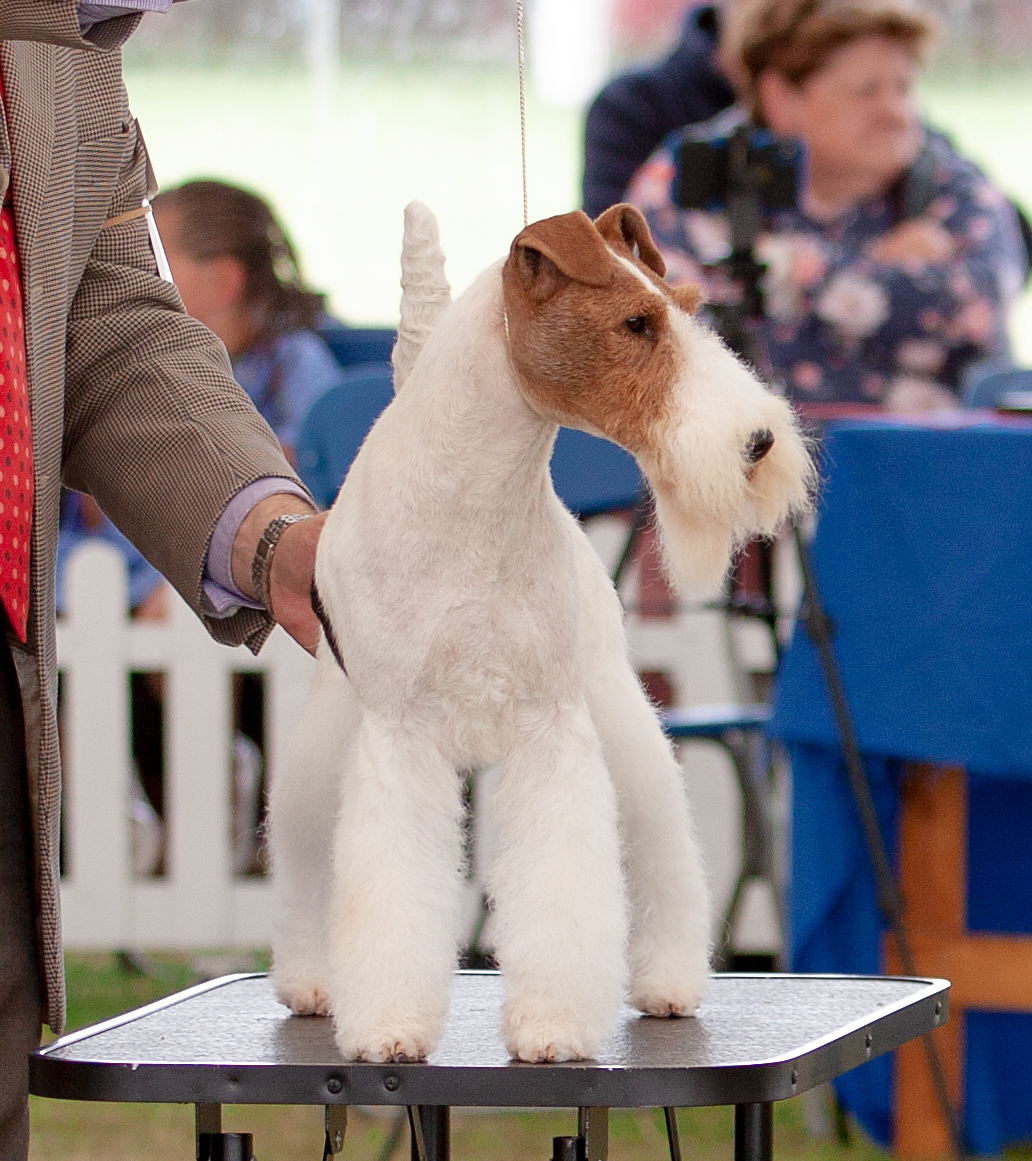 Ch Nethertonion Chandalier - BEST OF BREED at Bath Championship Show