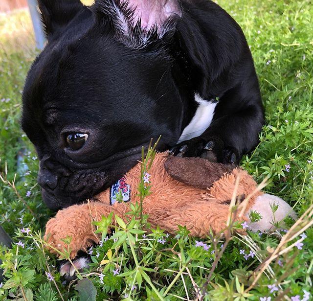 Adora-bulldog.  #mckinneydogs #dogsofmckinney #backyardpetsitting #furbabies #frenchbulldog