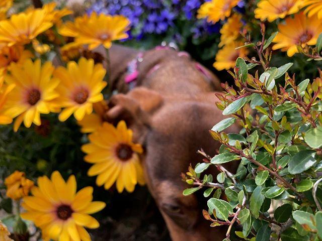 Flowers!  Now we're talking.  #mckinneydogs #dogsofmckinney #backyardpetsitting #furbabies
