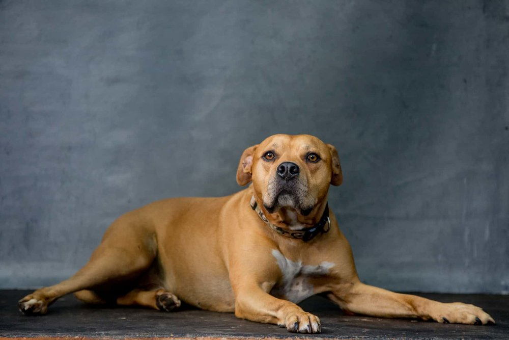 Mr. Wiggles is one of  TSIR Founder  Holly's favorite rescue dogs