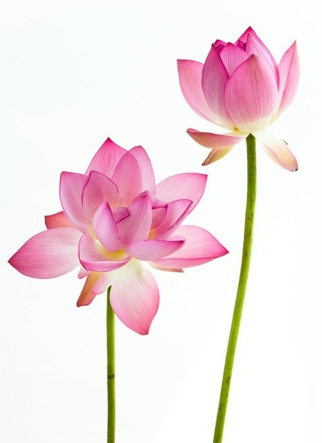 wall-murals-twain-pink-water-lily-flower-lotus-and-white-background.jpg.jpg