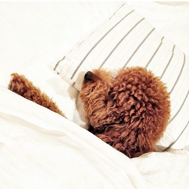 Unfortunately, we can't all be this well rested. But, we can fake it! Check out my latest blog post (link in my bio) for 5 simple beauty tricks to fake a good night's sleep. Happy Friday, Friends! . . . . #torontoblogger #beautytips #beautyblogger #redpoodle #toypoodle #makeupjunkie