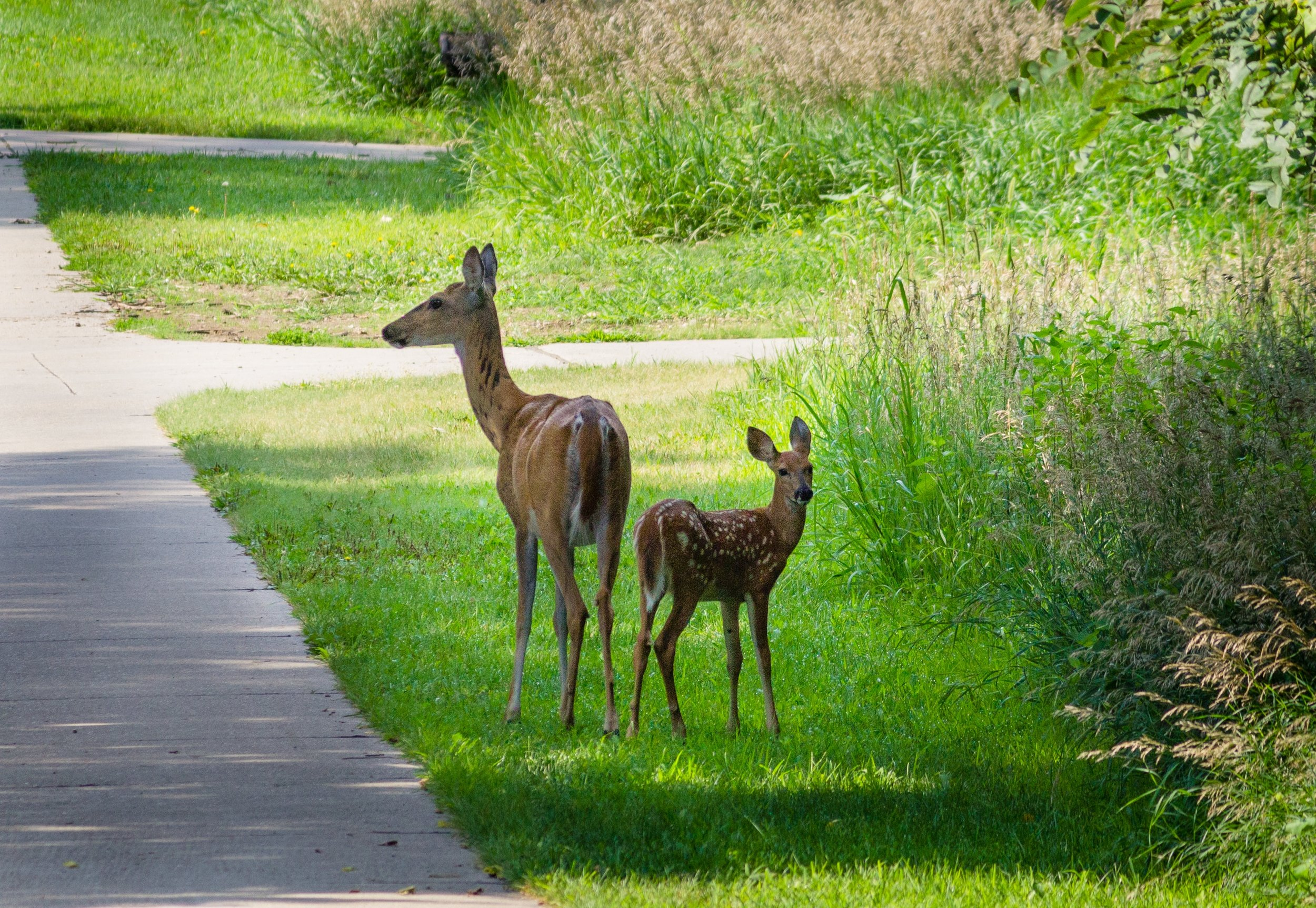 DEERvs.DEVELOPMENT - Wildlife Conservation in the face of the New West's housing surge