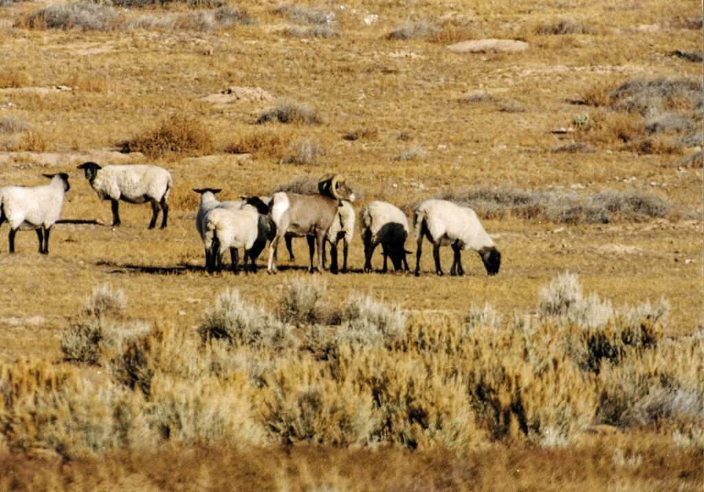 Bighorn sheep try to find love in the all the places, but with the wrong faces.