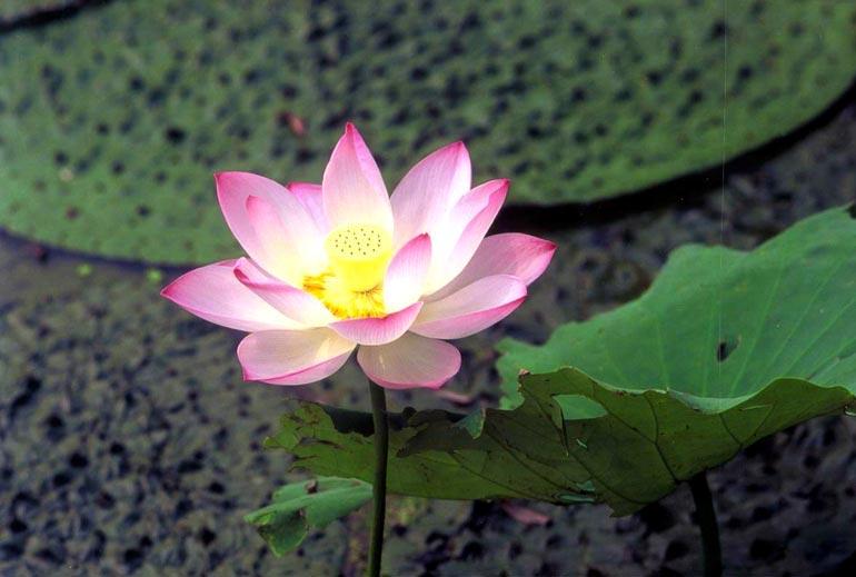 No mud, no lotus. - - Thich Nhat Han