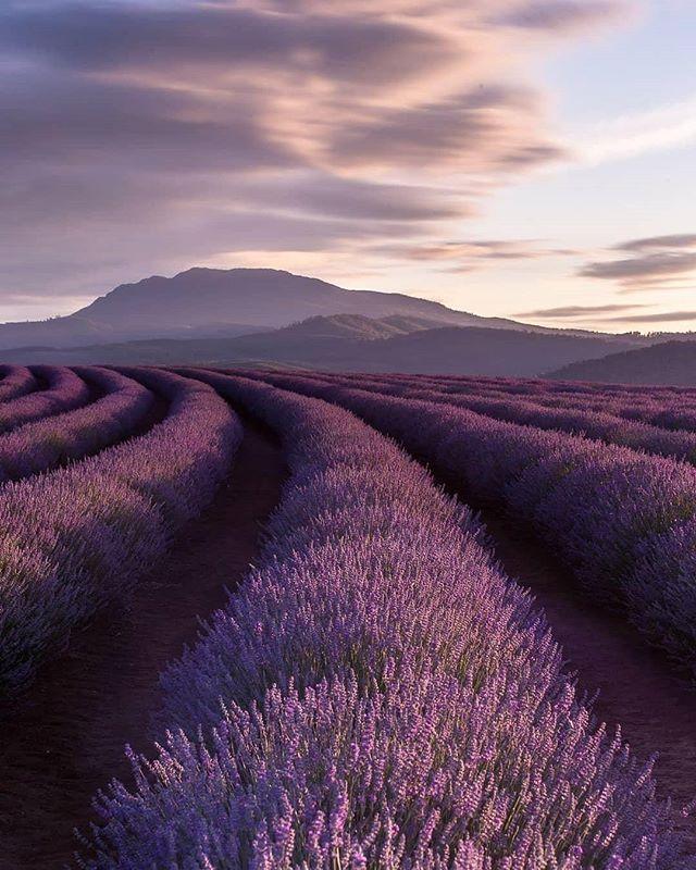Tag your travel mate to go there💜 📍Bridestowe Lavender Estate, Nabowla, Tasmania, Australia. 📷 Photo from @australia Tag us @grindmystyle to be featured! . . . . . . #lavender #northerntasmania #bridestowelavender #bloom #discovertasmania #australia #visitaustralia #tasmania #australian #aussie #australiagram #travel #igshotz #travelaustralia #traveller #vacation #australia_shotz #explore #photography #travelblogger #visittasmania #travelphotography #australialife #australianlife #explorer #wanderlust #happiness #natureporn #lavenderfields #grindmystyle