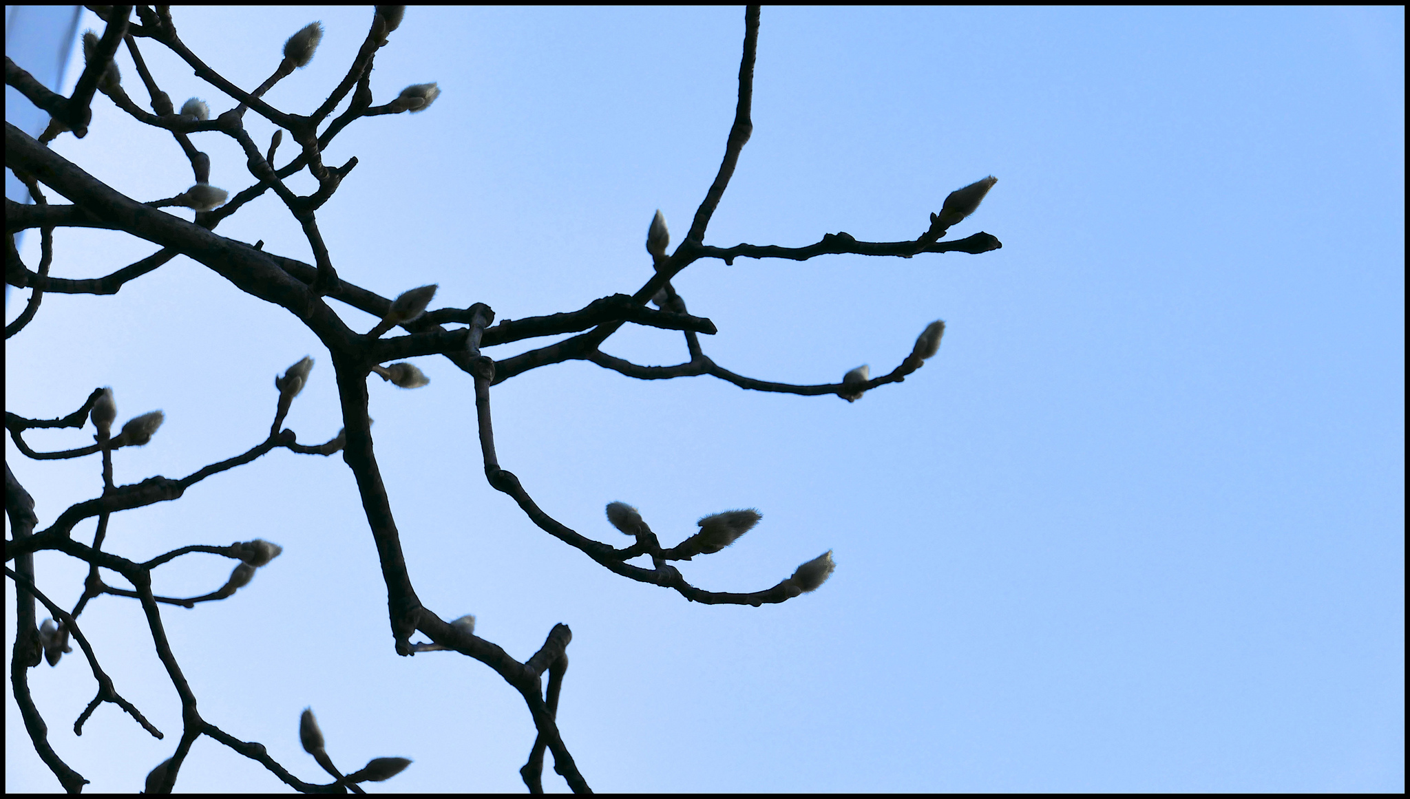 Waiting to blossom …