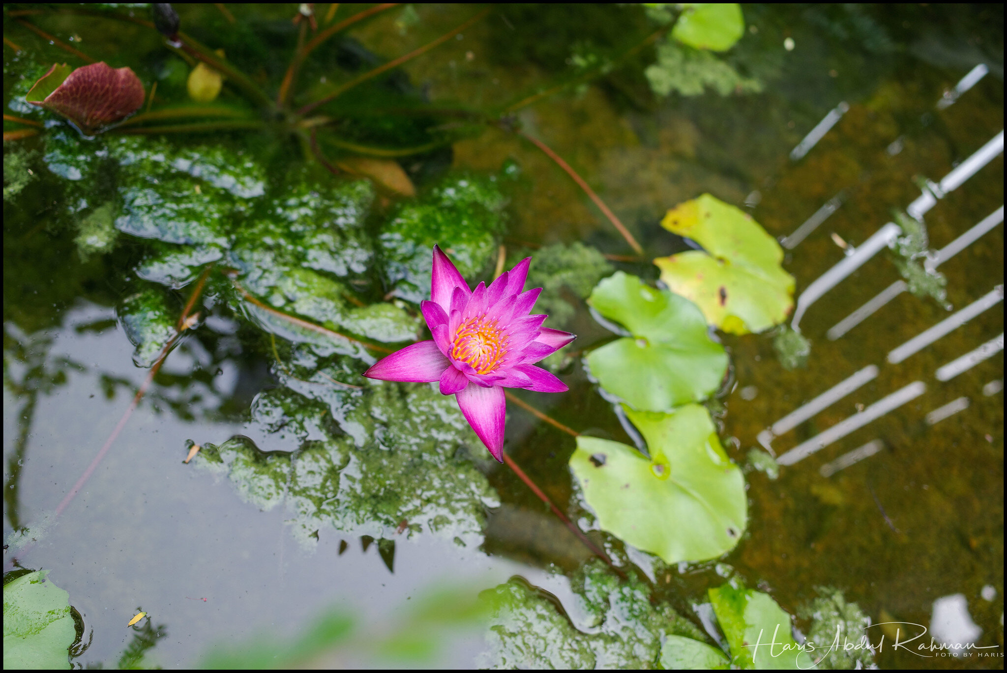 … with nice waterlilies growing there as well