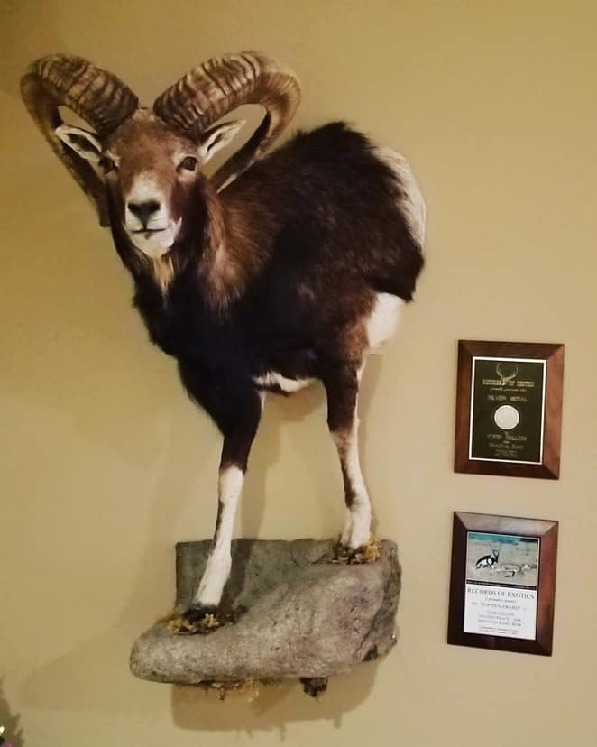 Field Staffer Todd Sellon's Mouflon Ram, which is the 2nd largest ever taken according to the Records of the Exotics 2008