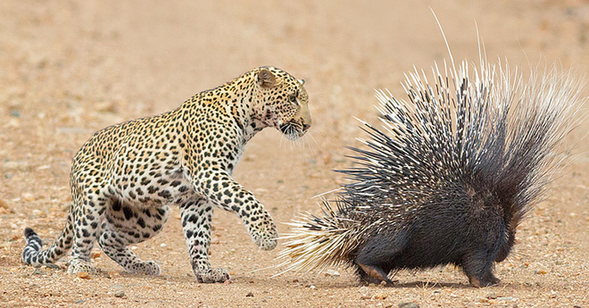 Alas, even with these tariff cuts your dreams of affordable porcupines remain elusive.