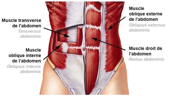 abdos-anatomie.png