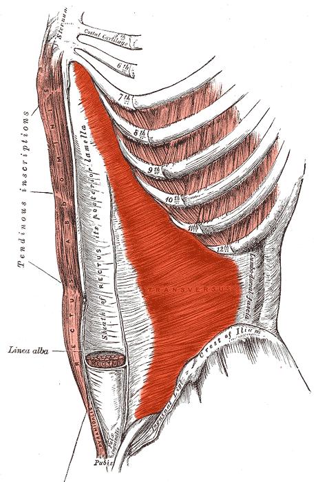 les  transverses de l'abdomen  : les muscles abdominaux profonds.