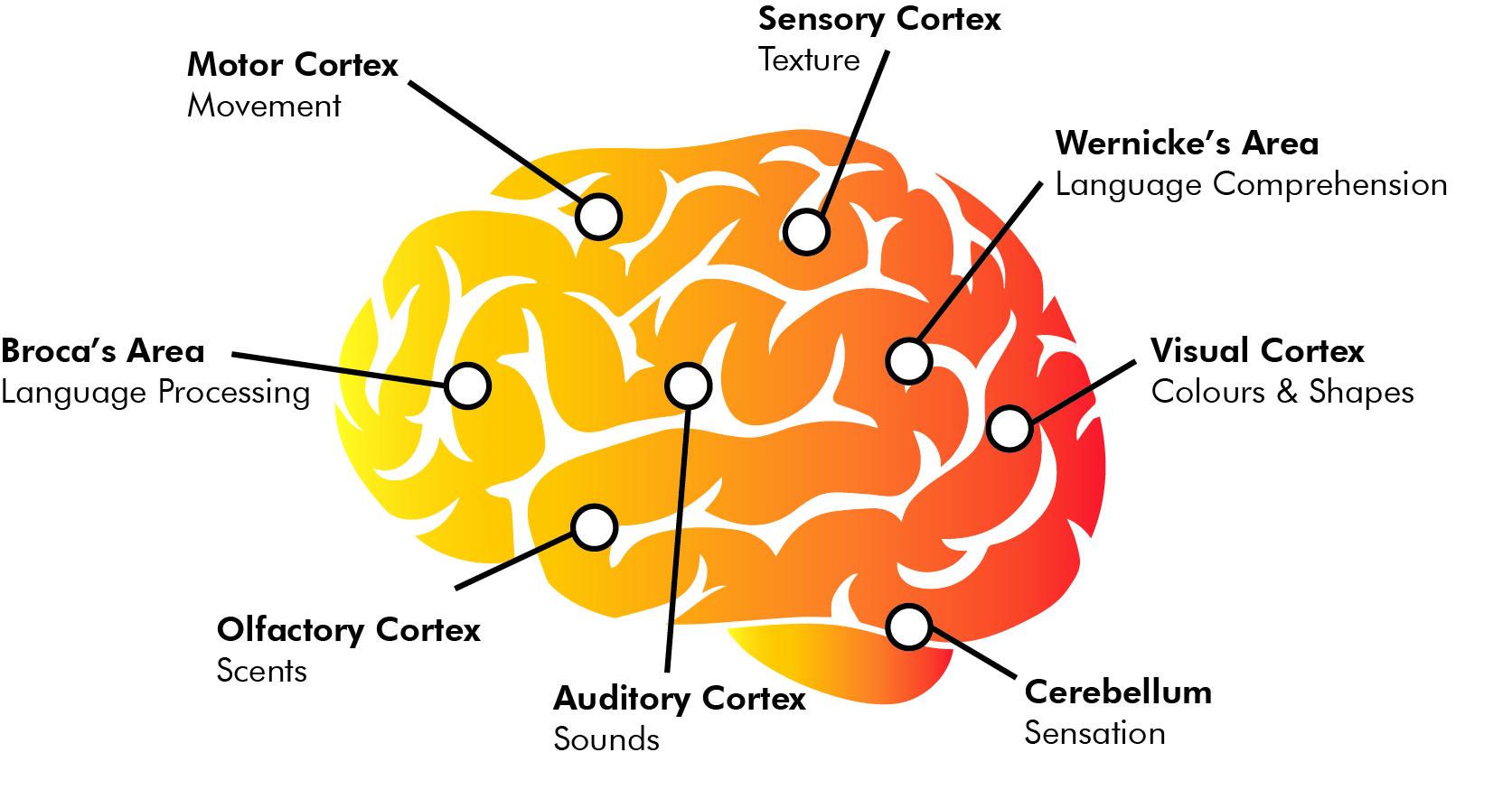 The brain's response to stories.