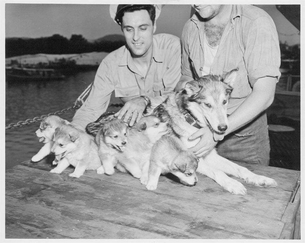 """Husky puppies that had been lost in Norfolk, Virginia, were reunited with their mother """"Lady"""" on December 8, 1946, in Balboa, Panama Canal Zone. Dogs were used in the early days to assist with operations in Antarctica. Photo credit: US Navy, USAP Photo Library"""