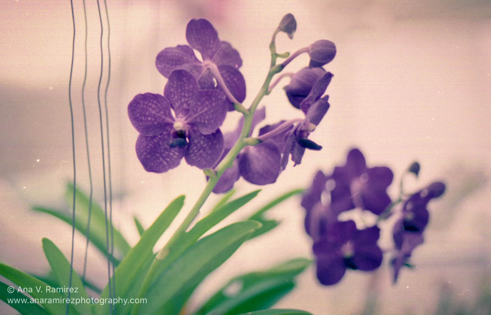 Orchids in Purple