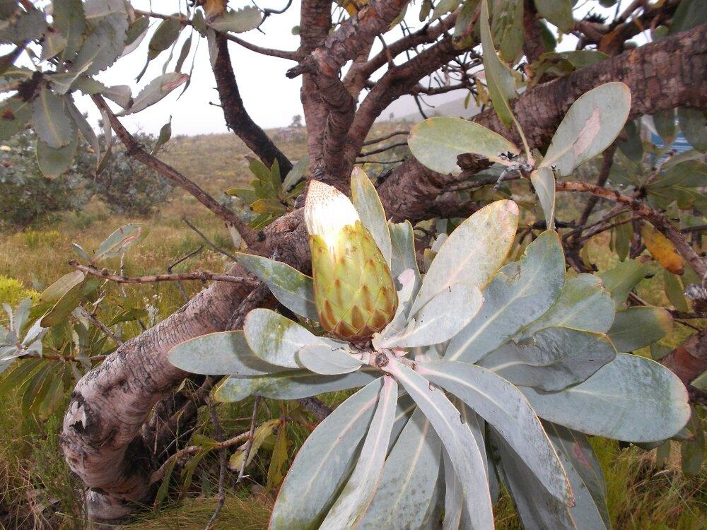 Viele Proteas beginnen zu blühen.