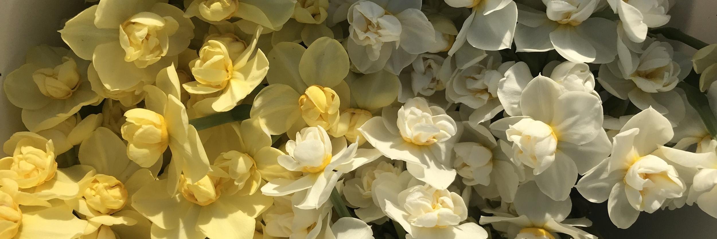 Narcissus - Cheerfulness.jpeg