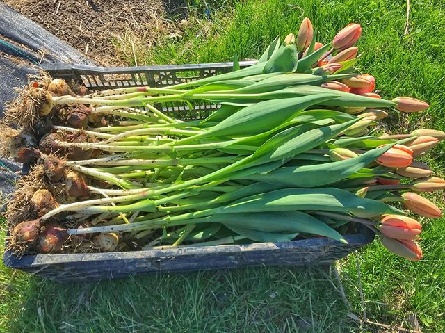 Holy stem length, Batman! 🤩 🌷 Did you know... Most farmers' tulip fields don't look like the stunning rainbows of color in Holland?  We tend to harvest in bud stage, with the bulb intact, because it allows for a considerably longer shelf life. 🌈  PSA - Mother's Day in just a couple of days away!  DM us for your last-minute flower orders for mom! 🌷 💕 #themoreyouknow #readingrainbow  #batman #robin  #mothersday #moms #momsday  #tulip #harvest #flowerfarm #farmgrown #buylocal #locallygrown #grownnotflown #slowflowers  #salmonflower  #bostonwedding #bostonflorist #bostonflowers #newenglandfarm #newenglandflorist #newhampshire  #uppervalleyvtnh #hanovernh #norwichvt #lebanonnh