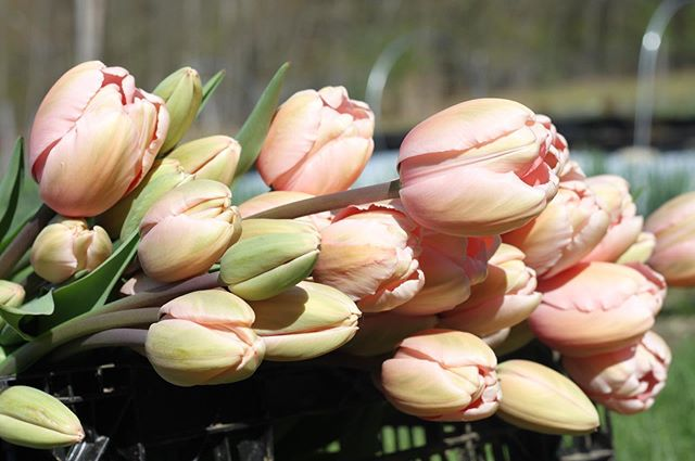 I mean, come on. Does it get much prettier than these?? 😍 🌷 Tulips can be an expensive annual crop for farmers; since we can't compete on price with the importers of the common Dutch grown tulips (they retail for less than the cost of a bulb!), many of us grow only the most #specialty varieties - flowers that tend not to be grown en masse and thus are not widely available. 💖  Pictured here - Salmon Impression (though it's more of a light #pink if you ask me 😉). Stems up to *two feet* long! 🌸 #flowerfarm #tulip #salmonflower #pinkflowers  #slowflowers #grownnotflown  #springbulbs #weddingflowers  #farmgrown #locallygrown #buylocal #farm #fieldgrown #farmtovase  #bostonwedding #bostonflorist #bostonflowers #boston  #newhampshire #nhwedding #vtwedding  #hanovernh #lebanonnh #norwichvt #uppervalleyvtnh