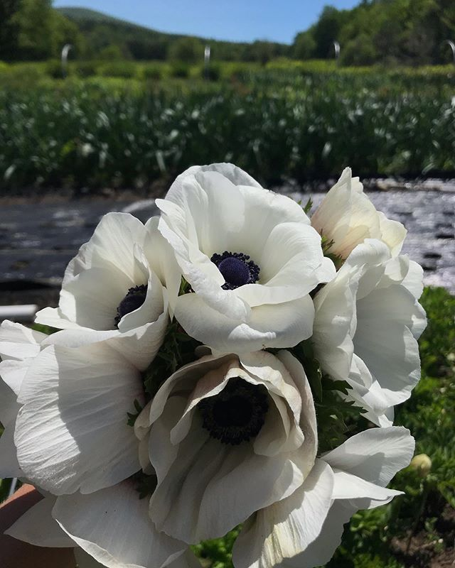 Onward to the next crops!! This year's test crop of anemones is a success!! 🏆 This stunner is one of the few white varieties we grow, but boy is it winning me over.  Lots more next year!! 🥰 Limited quantities available wholesale this week. 🚛 🌼 🚚 #canwegetmorefloweremojis #whiteflowers #anemone  #whitewedding  #buylocal #grownnotflown #slowflowers #flowerfarm #sustainablefarming #farmgrown #newenglandfarm #nhfarm  #bostonflowers #boston #bostonwedding #bostonflorist  #newenglandwedding #newenglandflorist #newenglandflowers #newenglandwedding #newengland  #newhampshire  #nofilter
