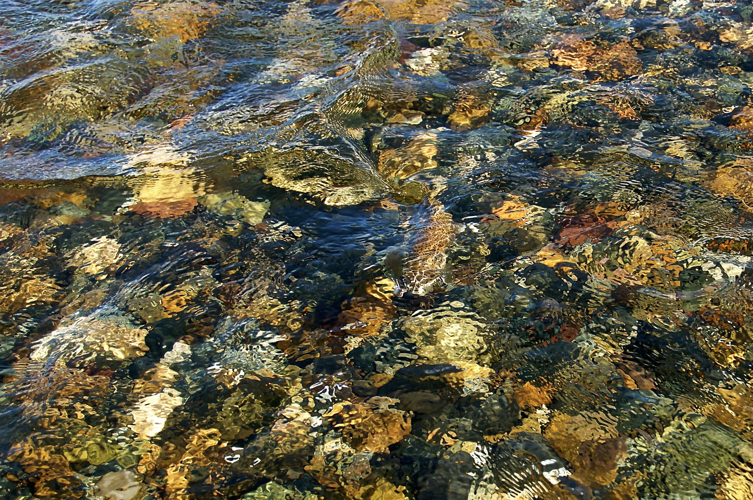 """""""Finding Waldo"""", a camouflaged wild rainbow trout on the rocky bottom of the Limay River, Patagonia, ARG."""