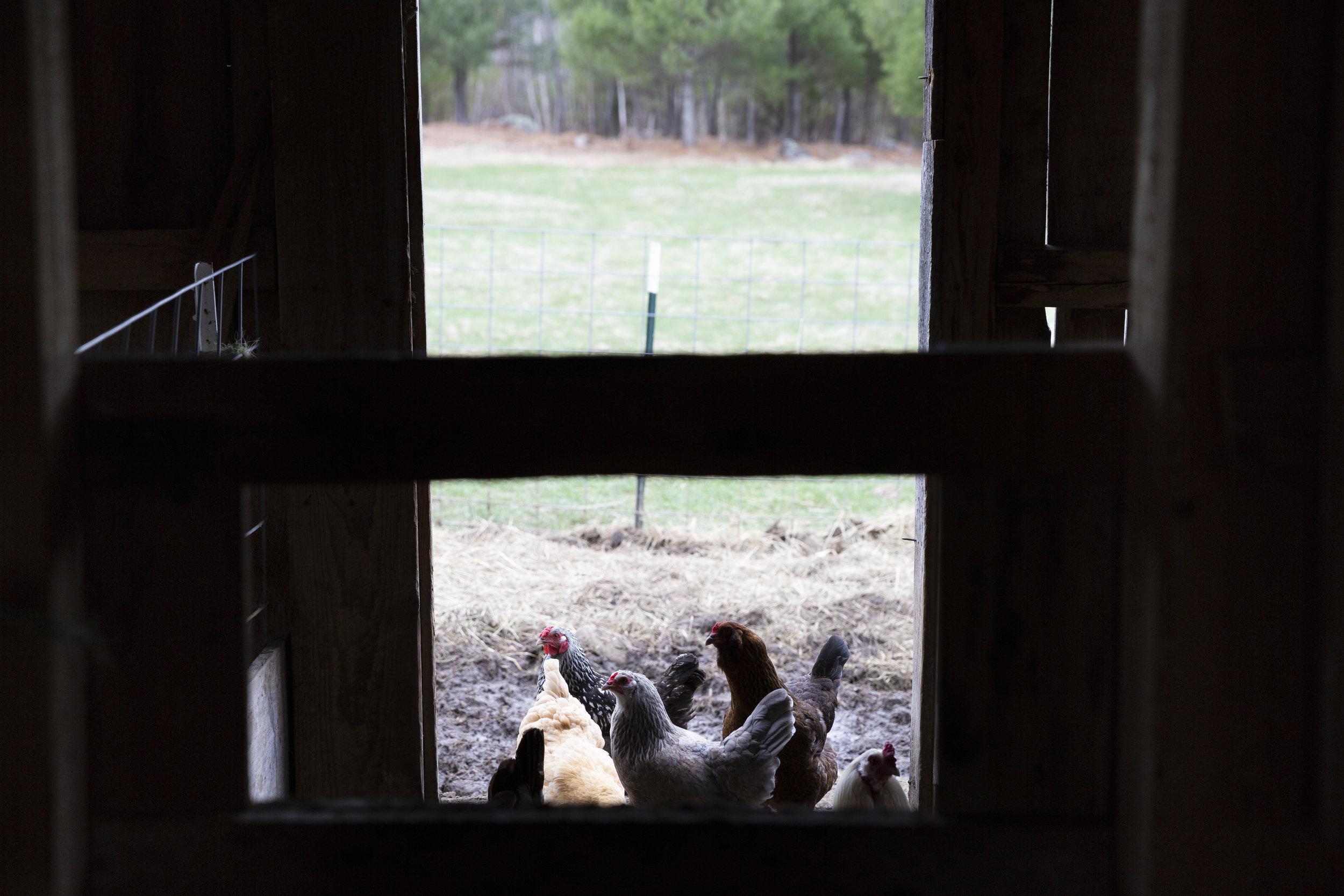 08-Chickens_4-30-18.JPG