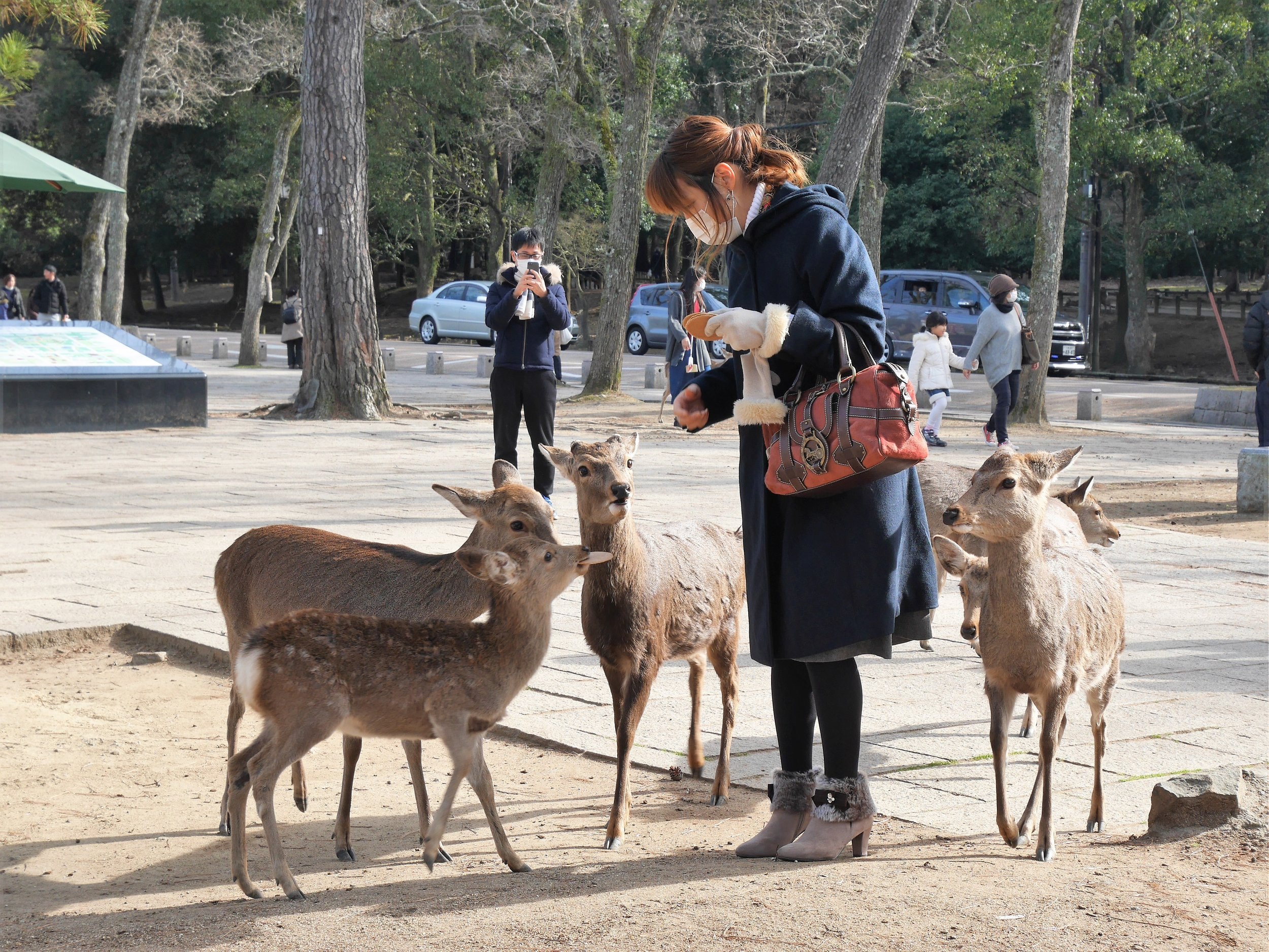 """Bowing deer. - The deer of Nara are plentiful and you'll find them wandering freely through all of the small city's parks. These deer are famously known as Japan's bowing deer, because they do exactly that. There is no evidential proof of how this behavior came to be, but it is assumed that initial deer learned to """"bow"""" in exchange for food from human hands, and since then young deer have learned this behaviour from their parents. We visited Nara by train from Osaka and in no time had found ourselves some bowing deer. We purchased a bit of deer food from a nearby shop, bowed to the creatures, and got many bows back! It is endlessly entertaining, and if you luck out like us you might encounter some locals who are expert deer whisperers."""
