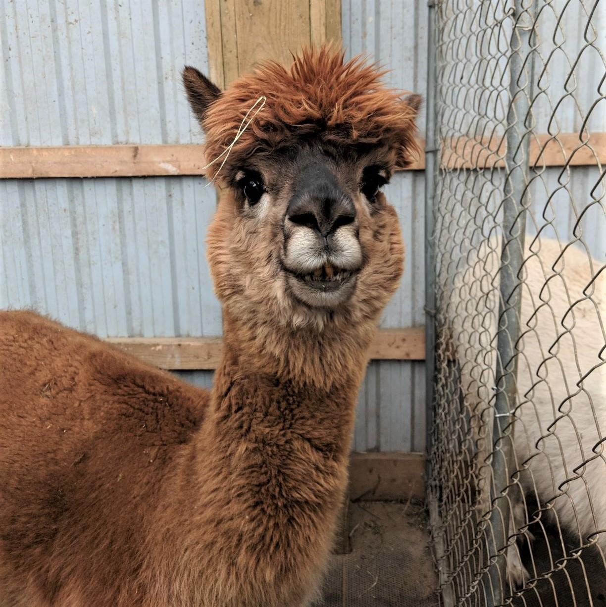 alpaca 1.jpg