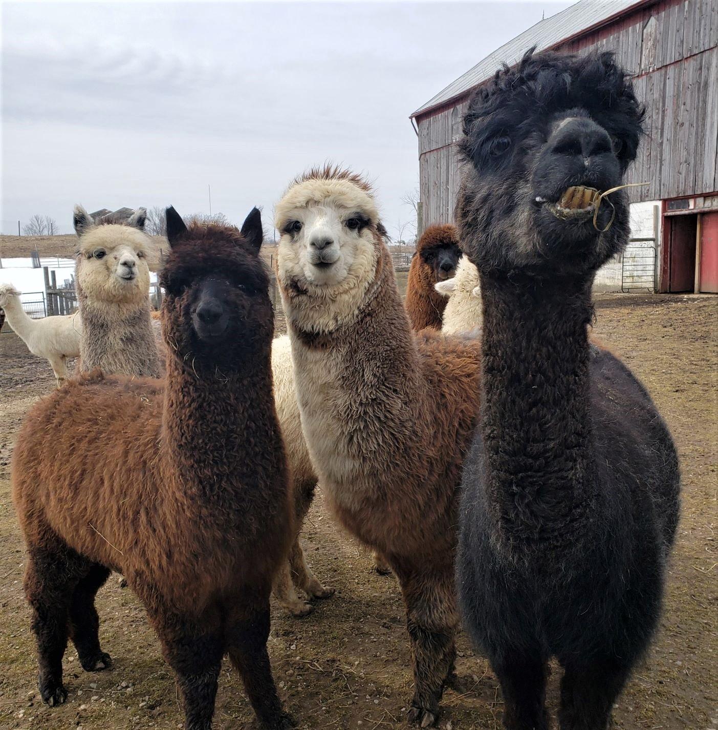 alpaca 9.jpg