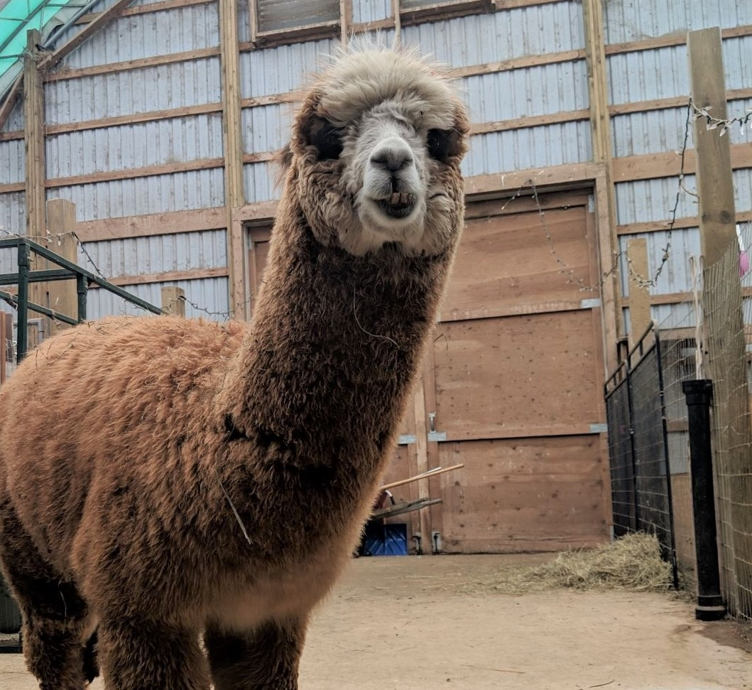 alpaca 4.jpg