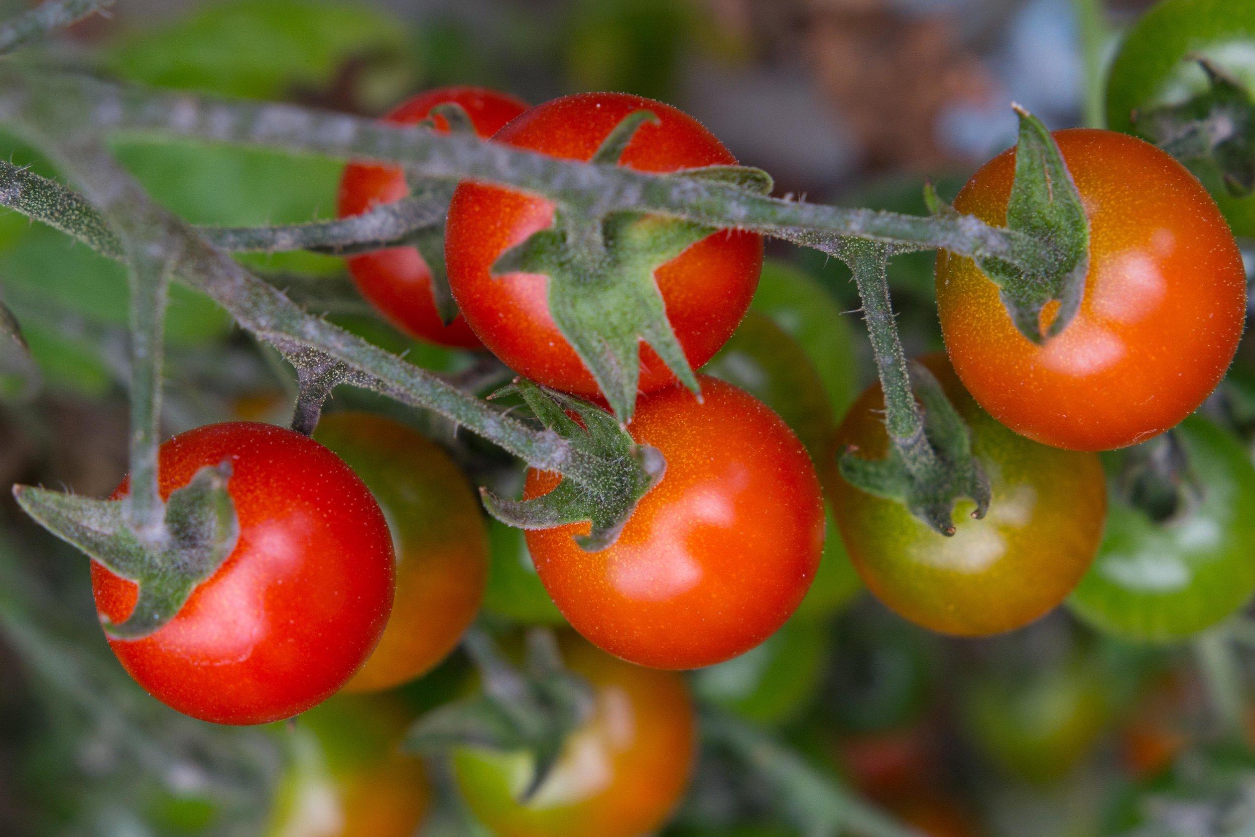 OrganicTomatoes2018-6802.jpg