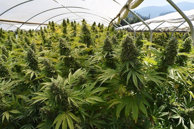-Gorilla Glue- We flower all of our genetics on our farm first, to ensure the utmost quality and quantity for yours.