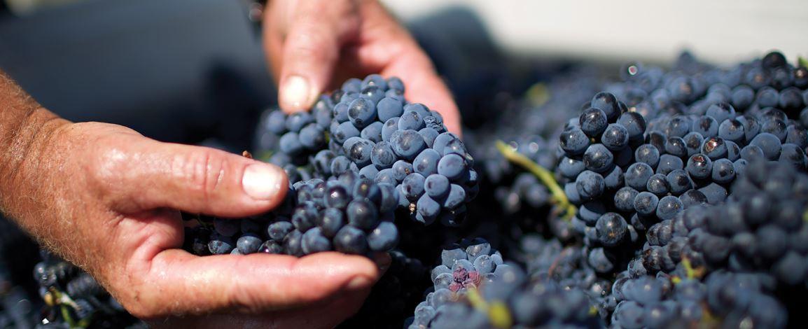 De Bortoli grapes.JPG