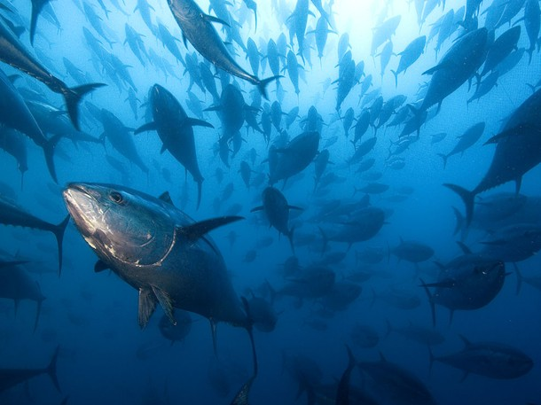 bluefin-tuna2_46817_0_0_610x457.jpg
