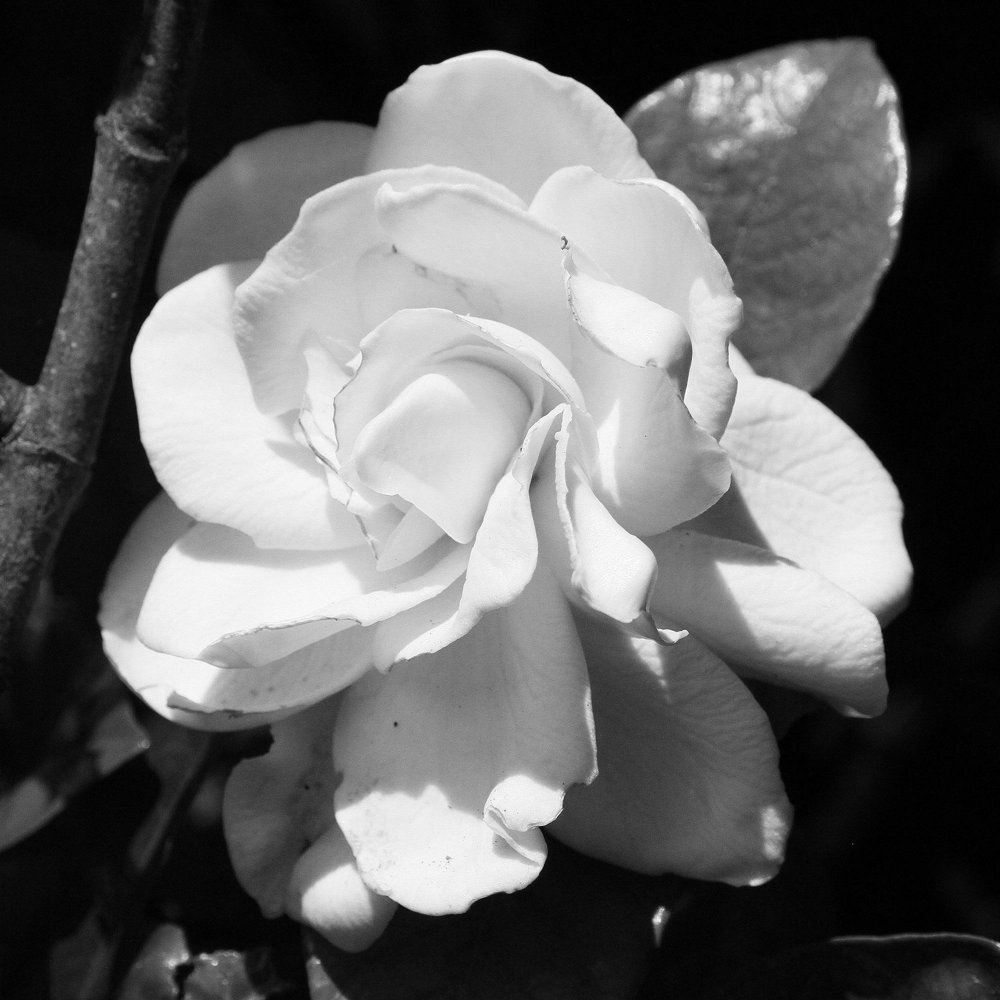 Gardenia (gardenia jasminoides)  Sultry star of Hothouse Flower